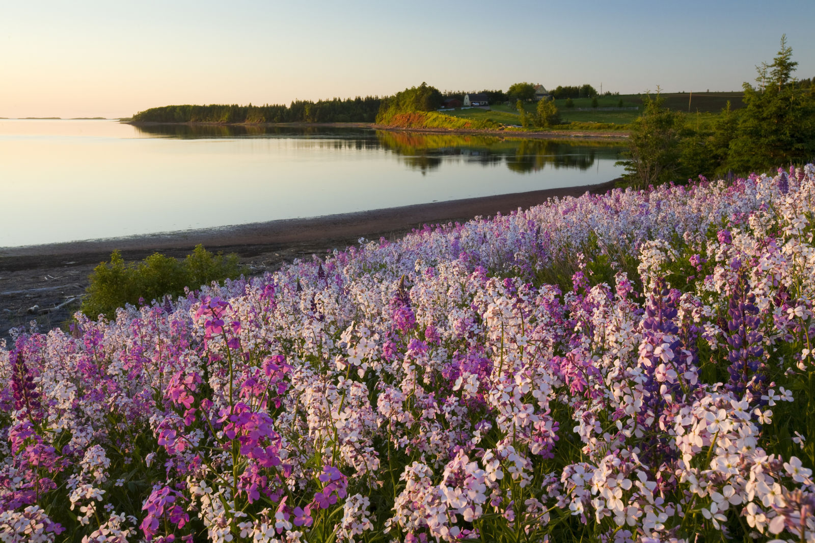 Phlox flowers growing on the banks of Prince Edward Island in Canada.  / Getty