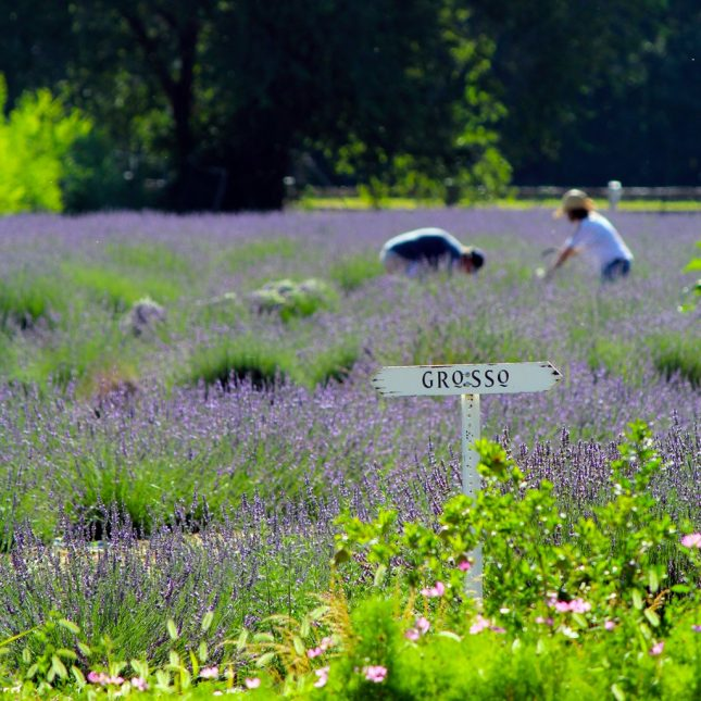 LavenderHarvest2015-GrossoSign-1024x1024-645x645