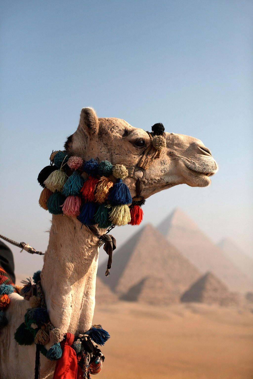 A camel in front of the Pyramids of Giza in Egypt  / Photo: Alamy